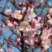 【2019年春】桜、梅、桃、杏の見分け方。お花見の話のネタにどうですか?